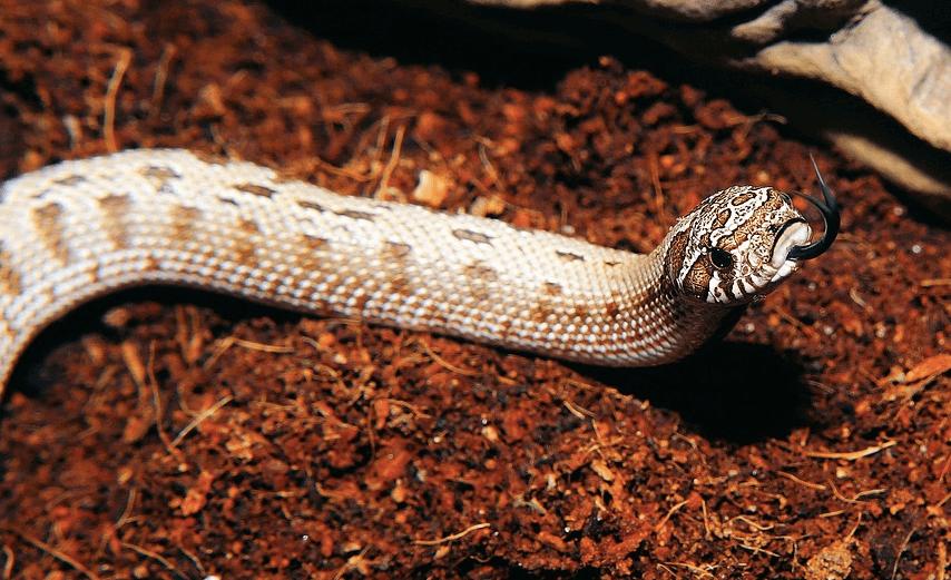 毒蛇の画像